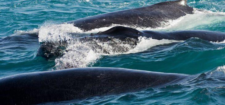 A Temporada reprodutiva de baleias-jubarte 2019 começou!