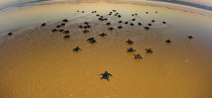 Aberta a temporada das tartarugas em Regência-ES.