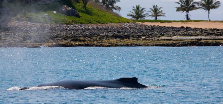 Aberta a temporada reprodutiva das Baleias-jubarte no litoral brasileiro!